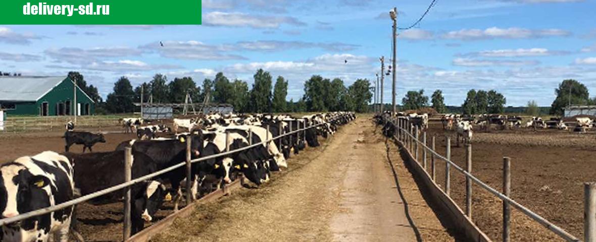 В сети магазинов Сельский дворик покупайте вкусное молоко с технологичных ферм, где свои коровы, телята. Доильный зал карусель